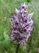 Orchis-simia-2008-130px.JPG